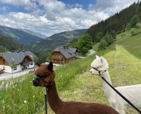 Alpakas am Grundlehnerhof